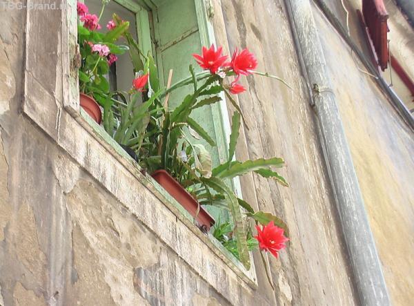 Кактусы в цвету - эпифиллум