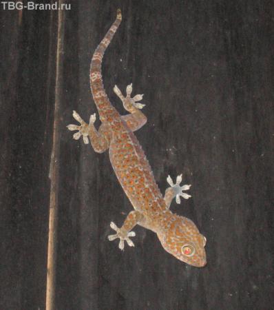 гекон в ночи