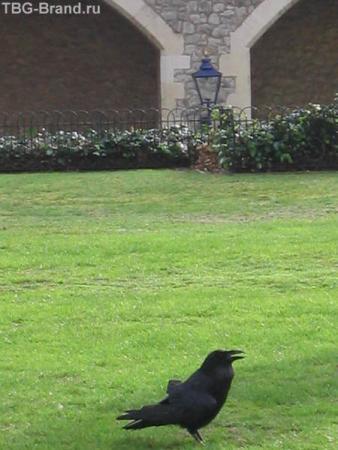 Знаменитый тауэрский ворон. По легенде, если вороны в Тауэре погибнут или улетят, в стране наступит конец монархии, поэтому птиц издавна холят и лелеят.