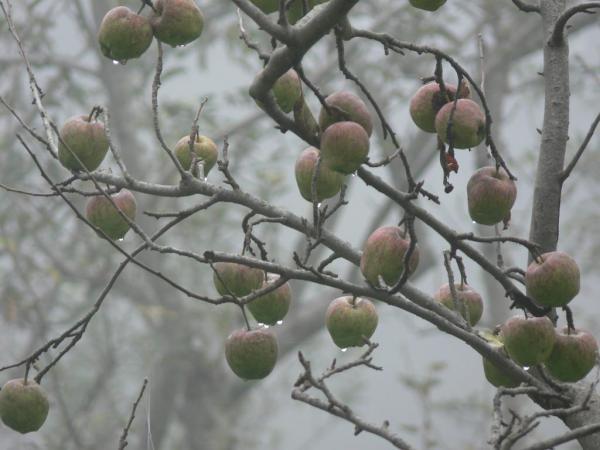 Молодильный яблочки.