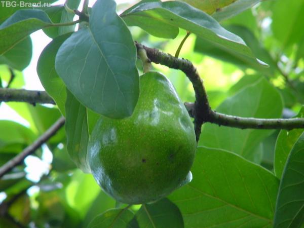 Так растёт авокадо.