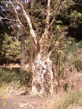 Дерево, которое поступило очень грамотно, вырастив себя вокруг бетонного столба!