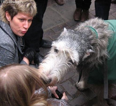 тот самый, ирландский волкодав-пастух