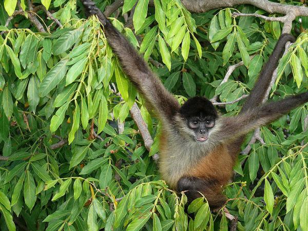 Паукообразная обезьяна была поселена на маленьком островке «добрым» ветеринаром.