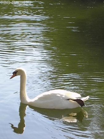 Сушим весла или ласточка по-лебединому (почти Сен-Санс)...