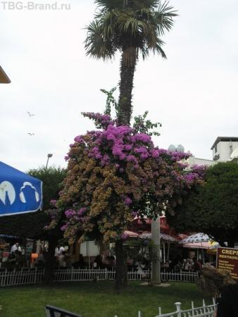 """повсюду буггенвиллия...красивые """"бумажные"""" цветы.."""