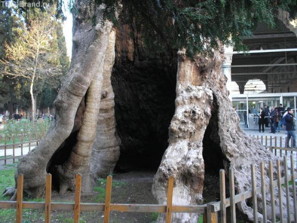 многовековой чинар