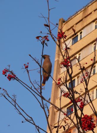 Неперелетная птица. Ноябрь 2008