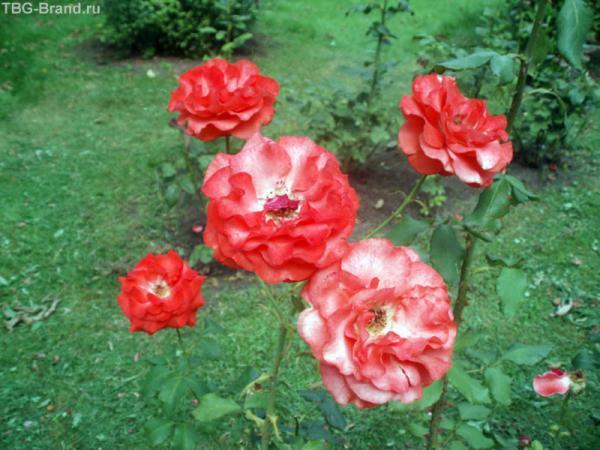 Розы у храма