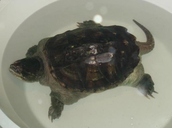 Черепаха ручная