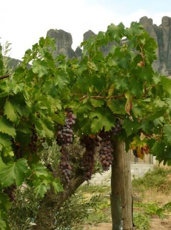 Растущий в огородах виноград.