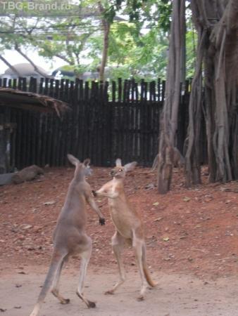 Кенгуру решили выяснить, кто сильней. Настоящие боксёры в настоящем зоопарке Бангкока
