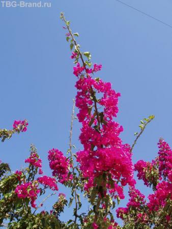 Эти цветы-один из составляющих элементов Греции
