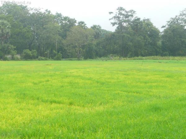 Под дождём рисовые поля заиграли новыми цветами
