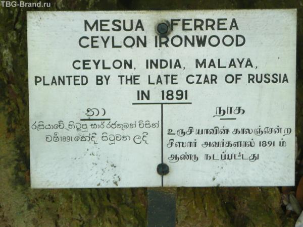 Ага, он самый и посадил это дерево. Говорят, когда он уменр, оно перестало расти