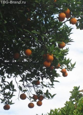 Апельсины над головой