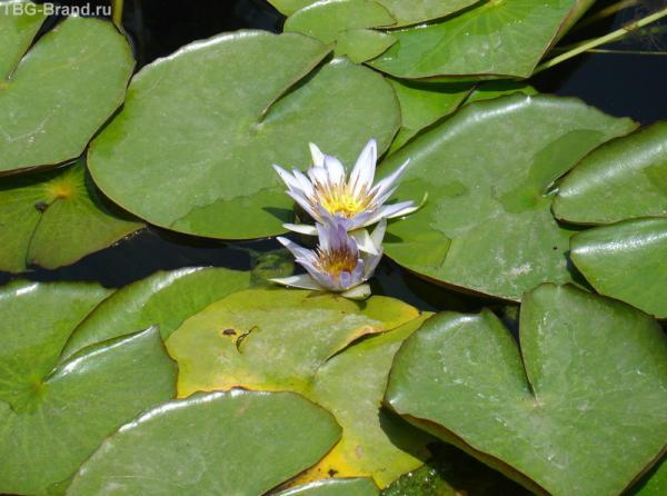 лилии у каирского музея