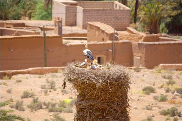 Аисты в Марокко - везде
