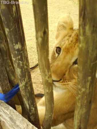 Что за Африка без львов! Львиный парк недалеко от города Порт Элизабет (Port Elizabeth).