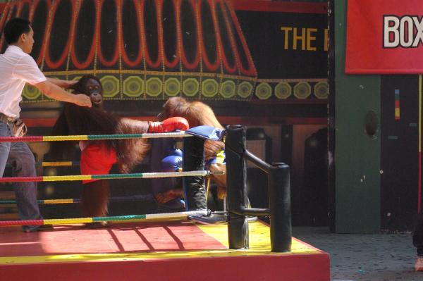 Шоу обезьян боксеров