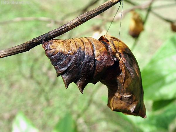 «Качельки для бабочки». По другим данным - Это бабочка-парусник Ornithoptera alexandrae. Размах крыльев у самок может быть больше 280 мм, а масса - больше 25 г. Некоторые бабочки имеют размах крыльев 32 см.