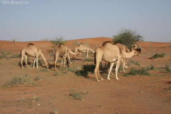 ОАЭ. Завтрак верблюдов