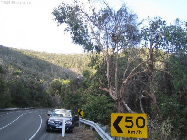 коалы сидят прямо у дороги