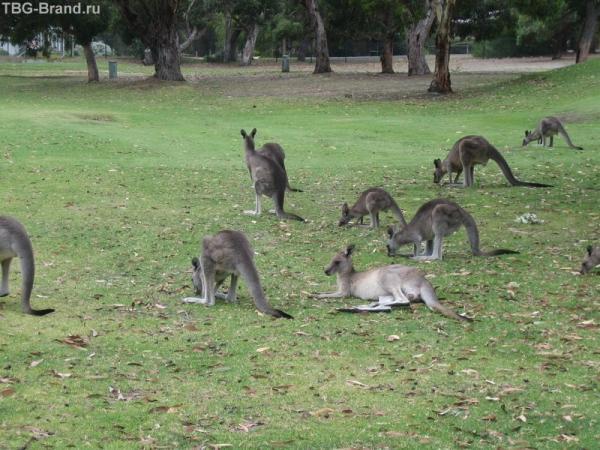 кенгуру в гольф клубе