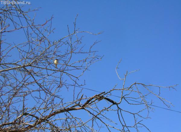 пташка - певунья