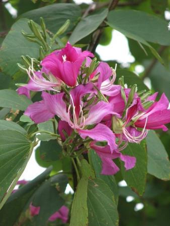 Бахия ( по моему так), из рода орхидей - символ Гонконга.