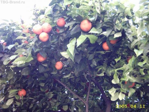 Просто невозможно пройти мимо висящих над головой апельсинов