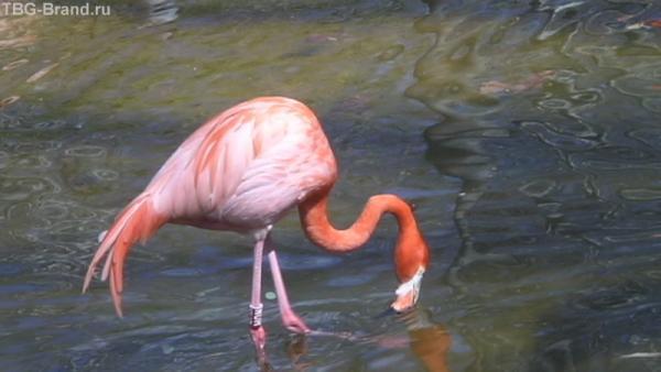 Красавец фламинго