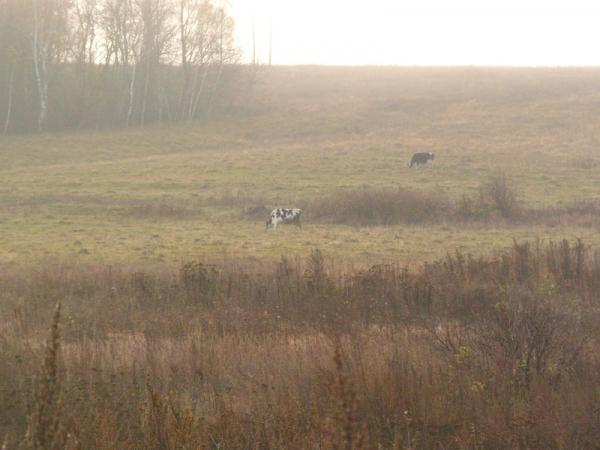 Луг с коровами