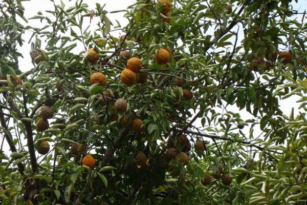 Красные лимоны
