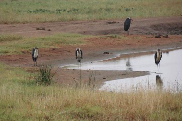 Марабу на берегу озера у лоджа нац. парка Тсаво