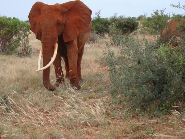 Красный слон (нац. парк Тсаво)