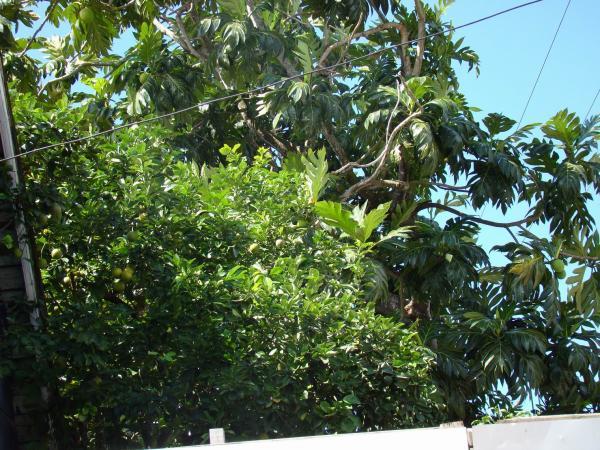 Лайм и хлебное дерево (остров Сент-Люсия)