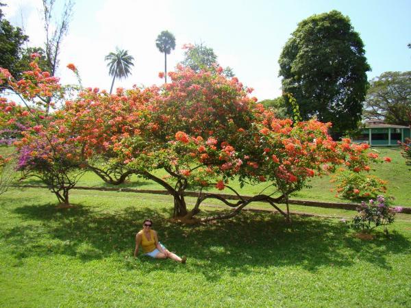 Цветущий олеандр (Ботанический сад Порт-оф-Спейна)