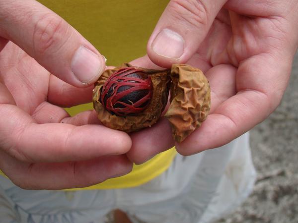 Мускатный орех (остров Гренада)