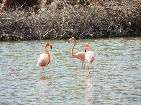 Фламинго озера Гото Мир (остров Бонайре)