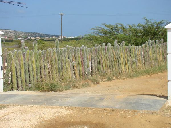 Кактусовый забор (остров Бонайре)