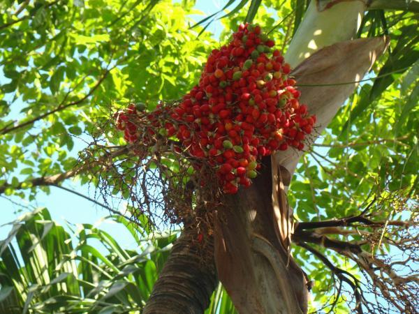 Зреющее кофе (остров Тортола)