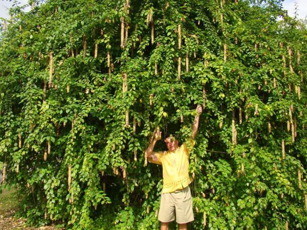 Ботанический сад Розо (остров Доминика) Гмелина Филиппинская