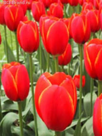 тюльпаны, нет утверждает, что Калмыцкие, но я видел иные