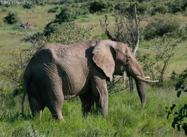 Кормящийся слон
