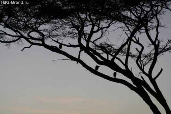 Ночевать цесарки предпочитают на деревьях.