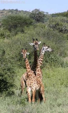 В кенийских заповедниках до сих пор можно встретить змея-горыныча.....
