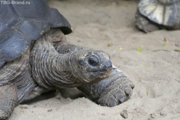 Слоновая черепаха Мария. 102 года