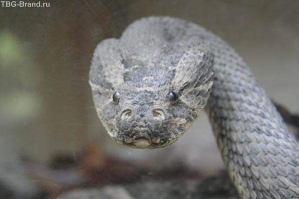 Сердитая змея Ruf Adder