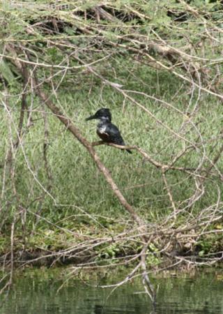 Kingfisher. Самый большой зимородок